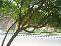 (Thespesia populnea) tree at Tenneti park 05.JPG