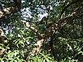 ¿ Litsea species ? (15376232706).jpg