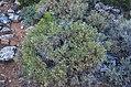 Χλωρίδα Σίφνου 5.jpg