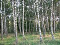 Березовий гай - panoramio.jpg