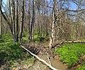 Бобровая плотина в крюковском лесничестве (2).jpg