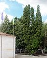Біогрупа хвойних дерев 01.jpg