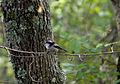 Длиннохвостая синица (Ополовник) - Aegithalos caudatus - Long-tailed Tit (Long-tailed Bushtit) - Дългоопашат синигер - Schwanzmeisen (22909196293).jpg