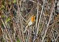 Зарянка - Erithacus rubecula - European robin - Червеногръдка - Rotkehlchen (30436517380).jpg