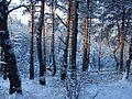 Зимний заповедный лес.jpg
