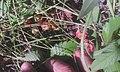 Клубника луговая (Fragaria viridis) 03.jpg