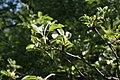 Невядомае дрэва ў Севастопальскім парку 4.JPG