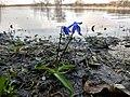 Першоцвіти, заплава Сіверського Дінця.jpg