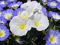 Растения в Седово 038.JPG