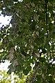 Сирецький дендрологічний парк Аксакал парку DSC 0461.jpg