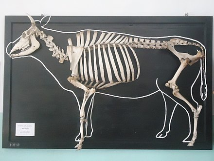 Displayed skeleton of a domestic cow Skelet domashnei korovy.jpg