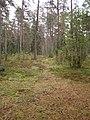 Сосна обыкновенная (Pinus sylvestris L.), Валаам.jpg