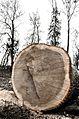 Суцільно винищені вікові дерева ( в тому числі здорові як на фото) в Олександрійському паркові.jpg