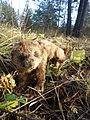 Чучело хорька в лесу.jpg