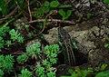 Ящірка прудка (Lacerta agilis) у НПП Вижницький.jpg