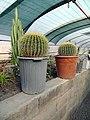 گلخانه کاکتوس دنیای خار در قم. کلکسیون انواع کاکتوس 22.jpg