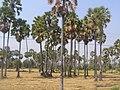 ต้นตาล - panoramio - SIAMSEARCH (1).jpg