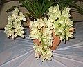 垂花蕙蘭 Cymbidium Cascade Group -香港沙田洋蘭展 Shatin Orchid Show, Hong Kong- (9219875039).jpg