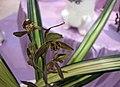 報歲石門瑞鷹藝 Cymbidium sinense -香港沙田國蘭展 Shatin Orchid Show, Hong Kong- (24494676203).jpg