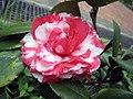 山茶花-完全重瓣型 Camellia japonica Formal Double Form -香港大埔海濱公園 Taipo Waterfront Park, Hong Kong- (14465032032).jpg