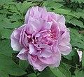 江南牡丹-西施 Paeonia suffruticosa 'Beauty Xi-Shi' -上海古猗園 Shanghai, China - (17003443287).jpg