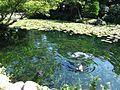清水邸庭園の池と鯉 - panoramio.jpg