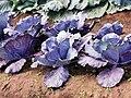 紫色高麗菜20191121180133 01.jpg
