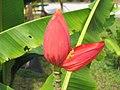 紫花蕉 Musa violascens -吉隆坡 University of Malaya, Kuala Lumpur- (9207627486).jpg
