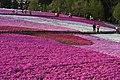 芝桜 - panoramio (1).jpg