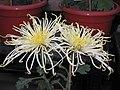 菊花-貫珠型 Chrysanthemum morifolium Pearls-tubular-series -中山小欖菊花會 Xiaolan Chrysanthemum Show, China- (9240223514).jpg