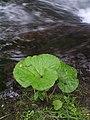 鹿の湯(しかのゆ)ユーヤンベツ川河畔のフキP6270548.jpg