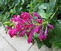 黃芩屬 Scutellaria longifolia 'Purple Fountains' -香港公園 Hong Kong Park- (37543567196).jpg