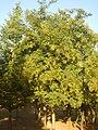 회화나무.JPG
