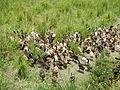 06659jfCandaba Pampanga Fields Duck Farming Bahay Pare Dulong Ilog Bulacanfvf 20.JPG