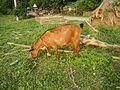 09409jfCattle goats grasslands Roads San Miguel, Bulacanfvf 10.jpg