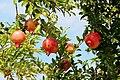 0 Torcello, Punica granatum - Fruits et feuillage d'un grenadier commun poussant dans l'île (1).JPG