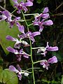 121215 Fata Morgana Prague 007 Dendrobium sp.jpg