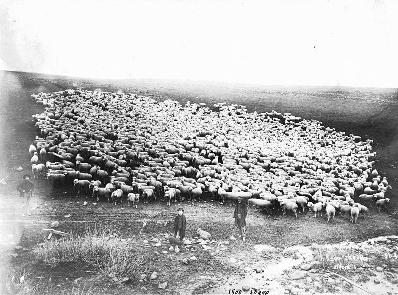 File:1500 sheep in Sherman County, Oregon (3229816482).jpg