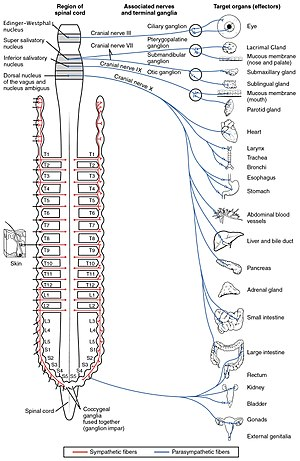 Parasympathetic nervous system - Autonomic nervous system innervation, showing the parasympathetic (craniosacral) systems in blue.