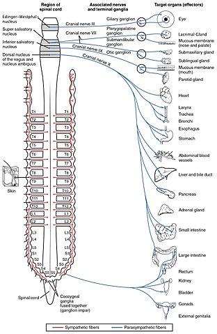 Det parasympatiska nervsystemet styrs av nerver som utgår ifrån hjärnstammen och från korskotorna (sakralkotorna).