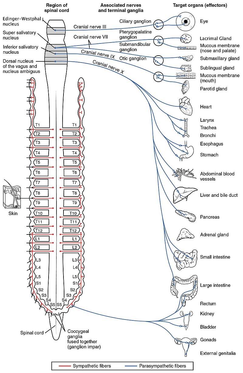1503 Connections of the Parasympathetic Nervous System.jpg
