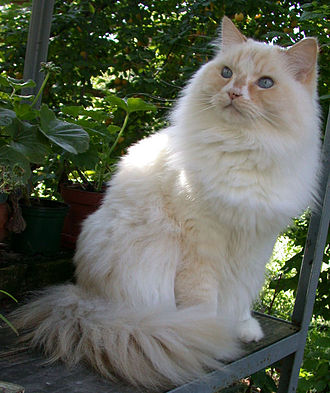 Ragamuffin cat - Image: 20050922Amarillo Res