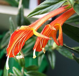 Columnea crassifolia