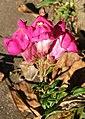 2006-11-16Antirrhinum09.jpg