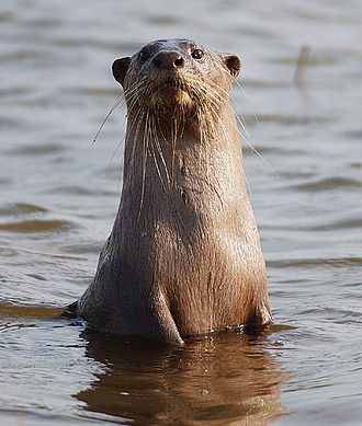 Smooth-coated otter - Smooth-coated otter at Kabini River in India