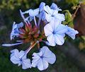2007-08-05Plumbago auriculata01.jpg