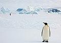 2007 Snow-Hill-Island Luyten-De-Hauwere-Emperor-Penguin-46.jpg