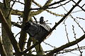 2010-01-30 (10) Ringeltaube, Woodpigeon, Columba palumbus.JPG