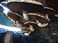 2012-11-17 Hemipholiota populnea (Pers.) Bon 325788.jpg