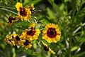 2013.07.13.083538 Coreopsis tinctoria Heidelberg Germany.jpg